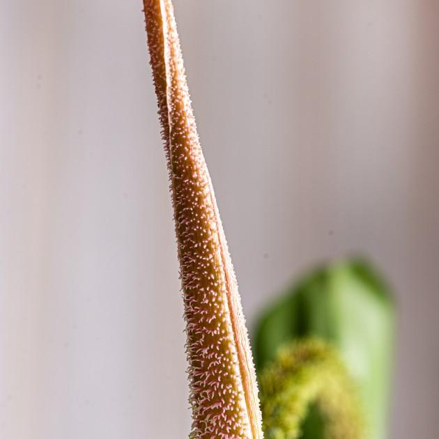 Филодендрон чешуеносный